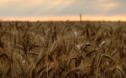 La superficie sembrada con trigo es un 22 por ciento más baja que ...