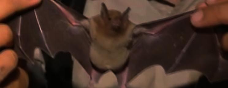 Murciélagos: la movida de Pichincha llegó hasta el cielo